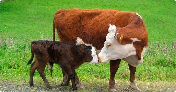 Vaca y su ternero en la inseminación artificial en bovinos