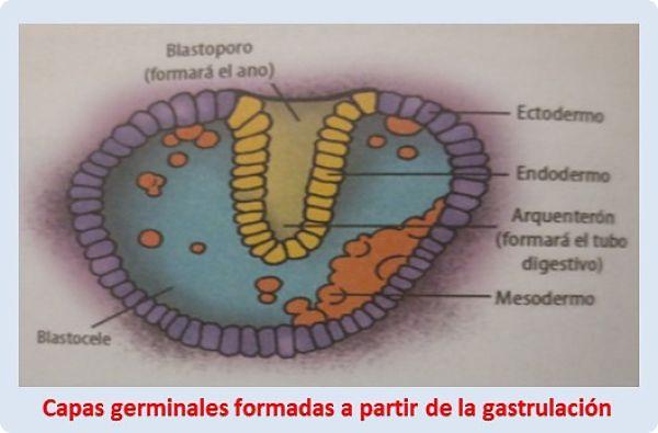 Tejidos y órganos: Capas germinales a partir de la gastrulación