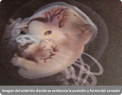 Imagen del embrión donde se evidencia la posición y forma del corazón
