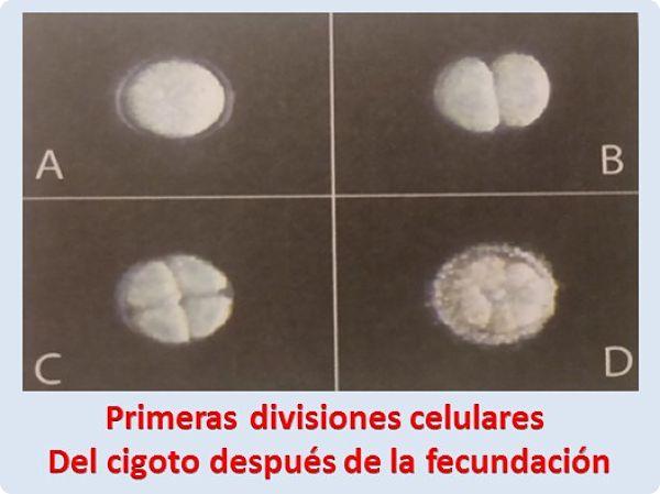 Primeras divisiones celulares Del cigoto después de la fecundación