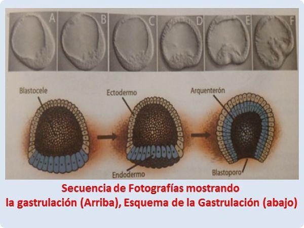 Secuencia de Fotografías mostrando la gastrulación
