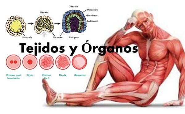 Tejidos y órganos
