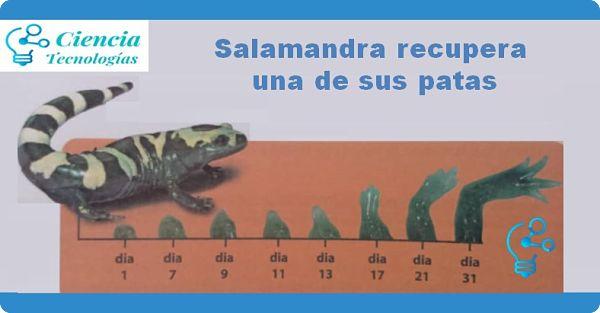 Salamandra recupera una de sus patas por la regeneración