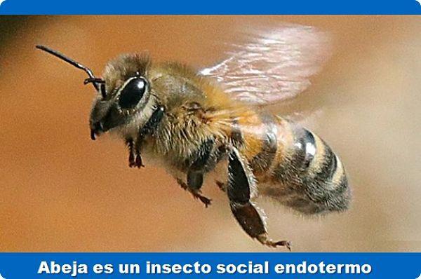 cómo regular la temperatura, la abeja es un insecto social endotermo