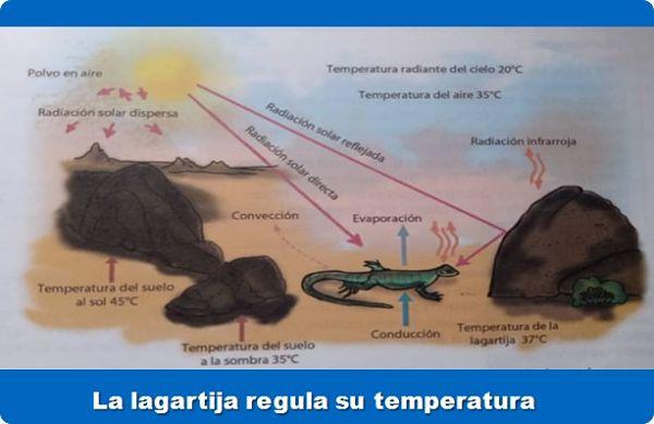 la lagartija regula su temperatura